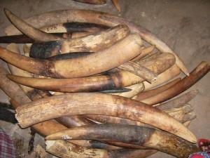 Les braconniers abattent les éléphants juste pour s'approprier des ces Ivoires. (Crédit photo: sauvegardedefaunesauvage.fr)