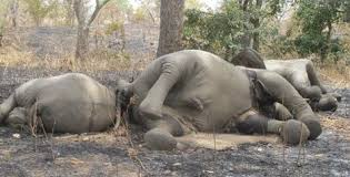 Des éléphants abattus par les braconniers en Centrafrique. (Crédit photo: journalDeBangui.com)