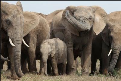 un petit groupe d'éléphants (Crédit photo: 123.rf.com)